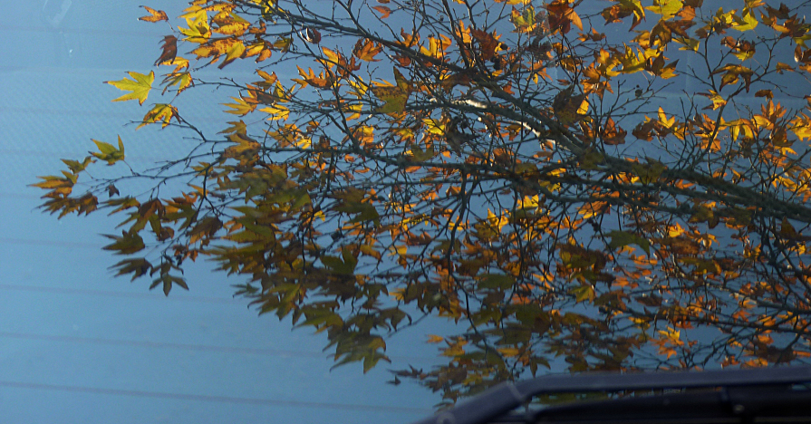 Leaves reflected on windshield