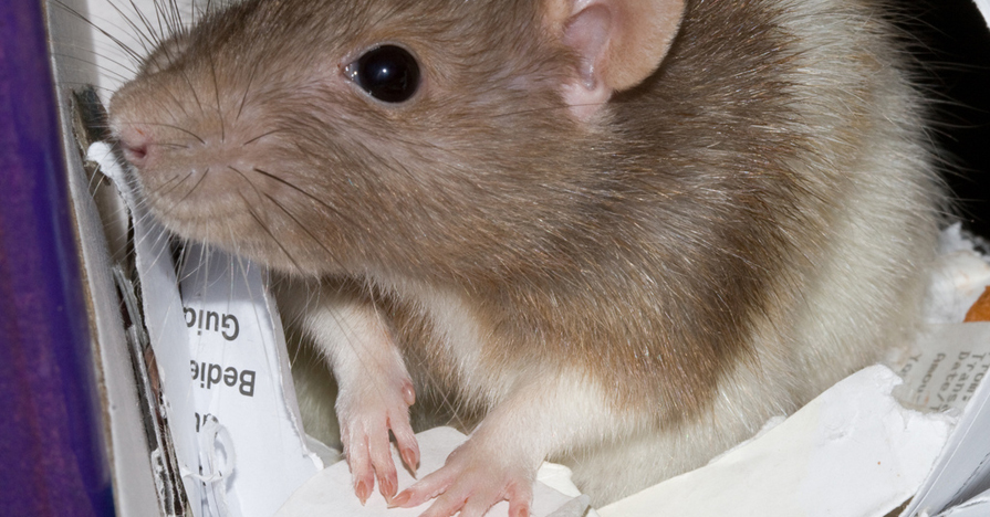 Rodent nesting in papers