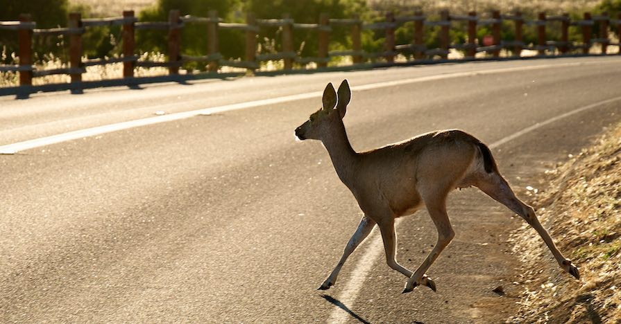 A deer crosses a road, which could cause a deer collision.
