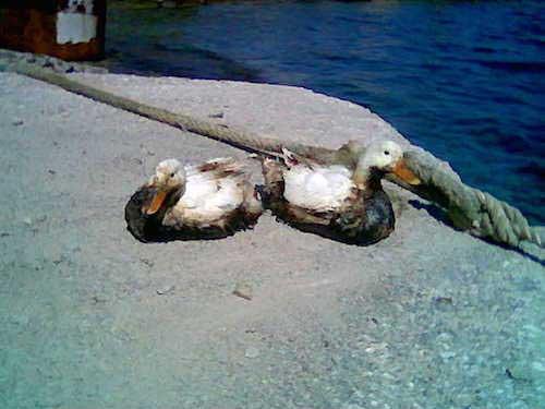 Oil covered birds in Santorini (Greece) port