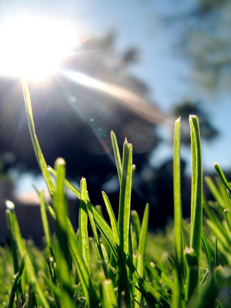 Grass growing in the summer sun