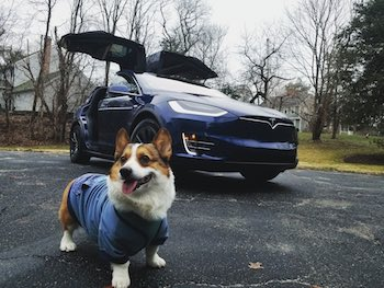 Dog getting ready to go in the car.