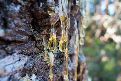 Tree sap